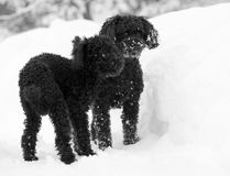 Black poodles in the snow. Royalty Free Stock Image
