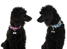 Black poodles Stock Photos