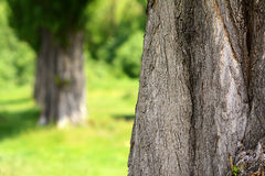Black poplar bole Stock Photos