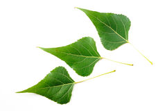 Black Poplar Leaves Stock Image