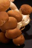 Black poplar mushroom Royalty Free Stock Images