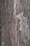 Black poplar tree bark Stock Photography