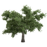 Black Poplar Tree Isolated Royalty Free Stock Image