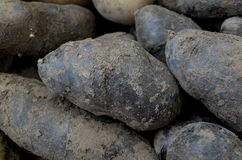Black potatoes Stock Image