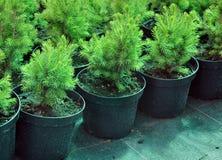 Black pots with  coniferous trees. Stock Photo