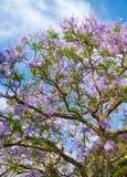 Black poui or Jacaranda mimosifolia Royalty Free Stock Photos
