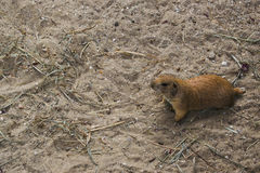 Black prairie dogs Cynomys ludovicianus. Sits on the ground Stock Images