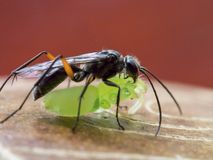 Black predator wasp with prey. Black predator wasp dragging away its prey, a small spider, after having bitten off its legs Royalty Free Stock Image