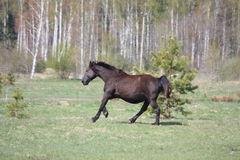 Black pregnant horse galloping at the field Royalty Free Stock Photo