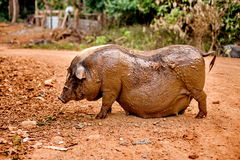 Black pregnant pig on free range farm Stock Images
