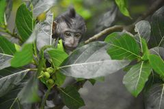 Black Primate Seeking Behind Green Leaf Tree royalty free stock photography
