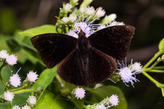Black Prince butterfly Royalty Free Stock Images