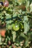 Black tomatoes ripen in the sun. Black prince tomatoes ripen in the sun royalty free stock photography