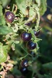 Black tomatoes ripen in the sun. Black prince tomatoes ripen in the sun stock image