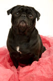 Black pug Royalty Free Stock Photos