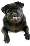 Black Pug Stock Photos