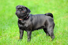Black pug Stock Photography