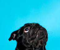 Black pug on a blue background Royalty Free Stock Photography