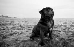 Black pug dog at the beach. Pug dog poses at the beach stock photos
