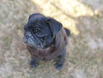 Black pug dog looking up in curiosity , looking for love and care Stock Images