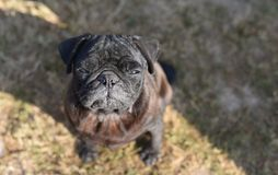 Black pug dog looking up in curiosity , looking for love and care Stock Photo