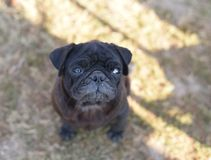 Black pug dog looking up in curiosity , looking for love and care Royalty Free Stock Images