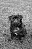 Black pug dog. A black pug dog posing for the camera Royalty Free Stock Images