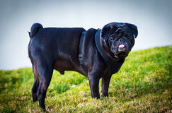 Black Pug Dog. Stock Images