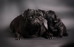 Black pug dog with puppy. Cute black pug dog being nuzzled by puppy, studio background Royalty Free Stock Photography