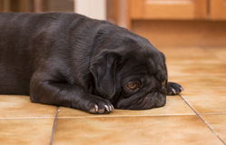 Black Pug Dog Snoozing Royalty Free Stock Photography