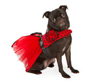 Black Pug Dog wearing Red and Black Dress Stock Image