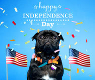 Black pug on the fourth of July. Black pug with an American flag on the fourth of July stock photography