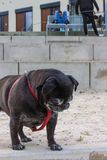 black pug in german mops named adelheid royalty free stock image
