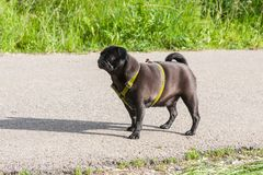 black pug in german mops named adelheid at teen age on a spring stock photography