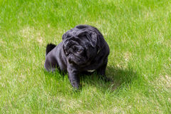 Black pug in the grass Stock Images