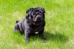 Black pug in the grass. Black pug sitting on the lawn in the green grass at sunny day Stock Photos