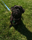 A black pug in green grass Stock Photography