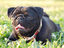 Black pug on the green grass. Cute smiling black pug lying on the green grass Royalty Free Stock Images