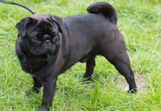 Black pug with green Royalty Free Stock Image