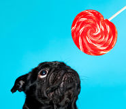 Black pug with lollypop. On a blue background Stock Photography