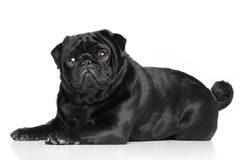 Black Pug lying Stock Images