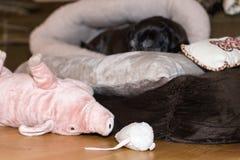 black pug named adelheid on a december christmas evening on sofa stock photography