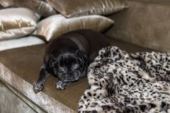 black pug named adelheid on a december christmas evening on sofa royalty free stock photo