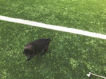 Black pug plays on the sports ground. Sunny day in the yard of a new house stock image