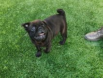 Black pug plays on the sports ground. Sunny day in the yard of a new house stock images