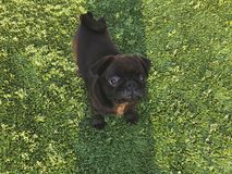 Black pug plays on the sports ground. Sunny day in the yard of a new house royalty free stock images