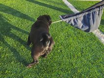 Black pug plays on the sports ground. Sunny day in the yard of a new house royalty free stock photo