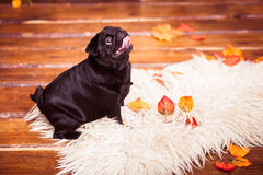 Black pug in profile looking up Royalty Free Stock Photo