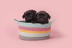 Free Black Pug Puppies In A Colorful Basket On A Pink Background Royalty Free Stock Images - 95610339