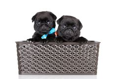 Black pug puppies on white background Stock Image